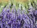 Lavendel vermehren: Wichtige Fragen und Antworten